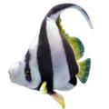 Рыба Идол мавританский 30 см
