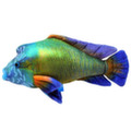 Рыба Наполеон 30 см